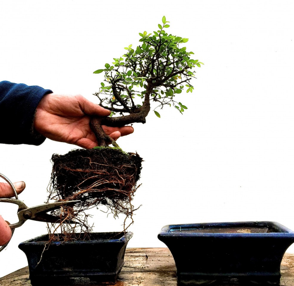 Why Is Repotting Bonsai Trees Important Everything Bonsai Related
